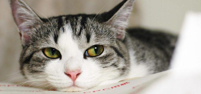 чистим уши кошке
