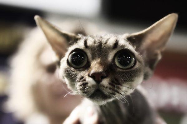 голова кота породы девон-рекс