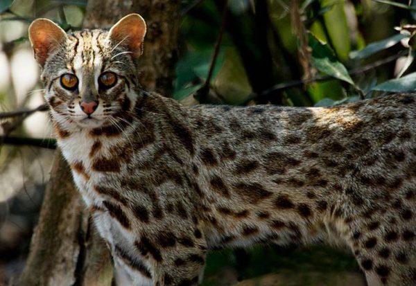 Дикая бенгальская кошка в естественной среде обитания