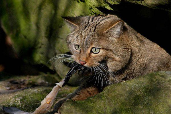 Дикая европейская кошка после удачной охоты