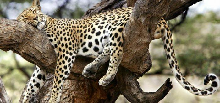 Дикая кошка на дереве