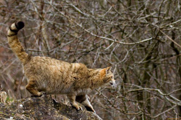 Дикая лесная кошка на охоте