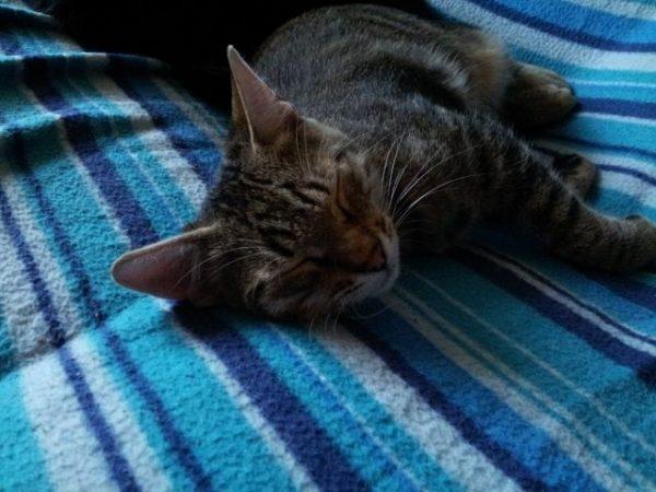 Дикий кот лежит