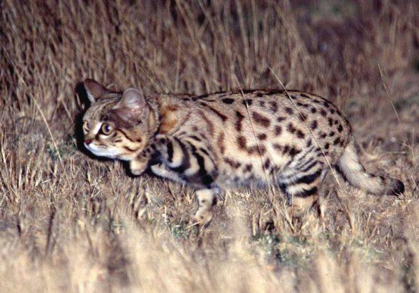 Дикий кот на ночной охоте
