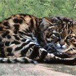 Дикий малый пятнистый кот