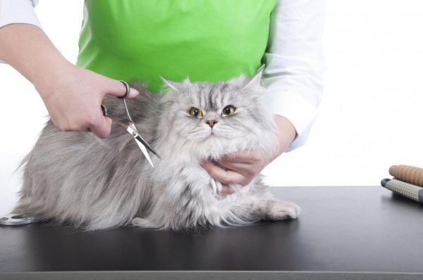 Длинношерстного кота стригут ножницами