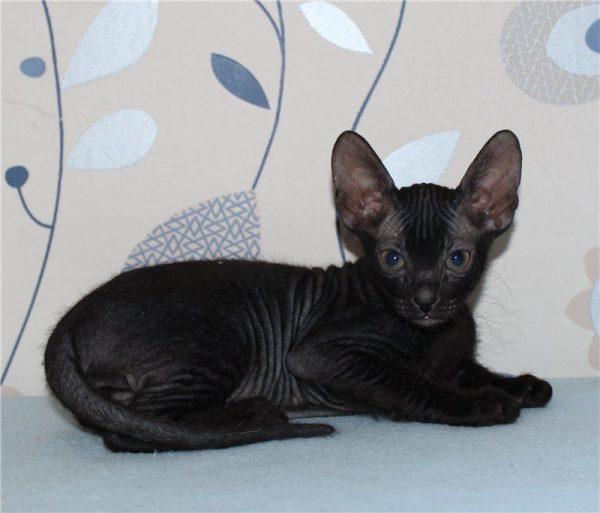 Котёнок велюрового донского сфинкса
