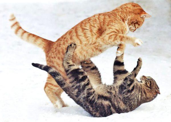 Два кота дерутся в снегу