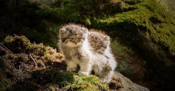 Два котёнка манула