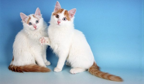 два котёнка породы турецкий ван