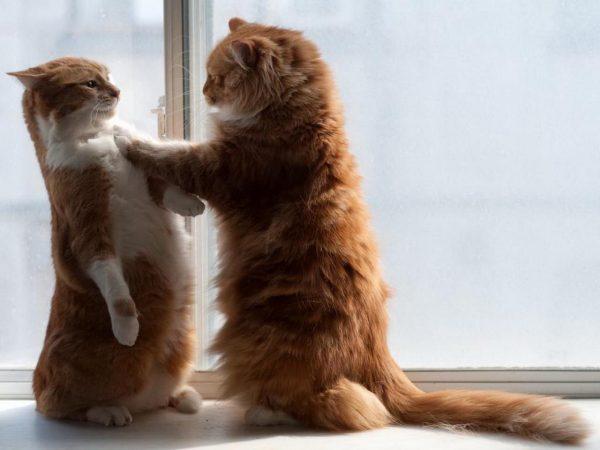 Два рыжих кота дерутся
