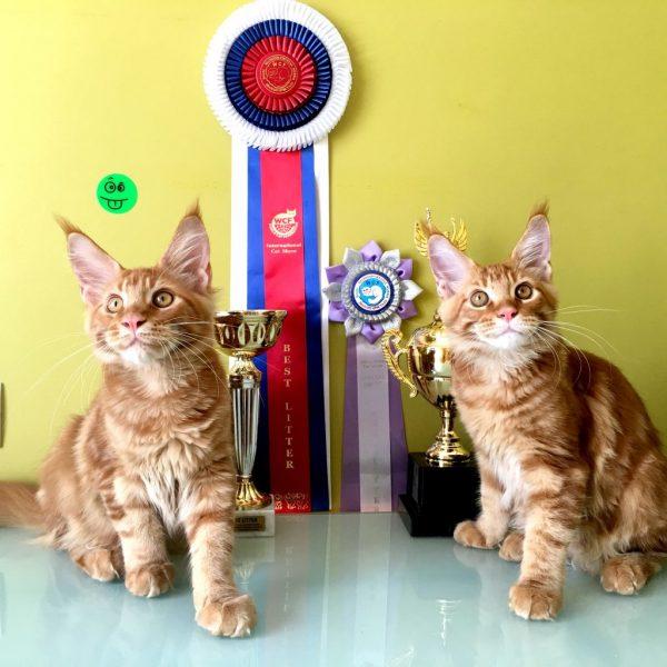 два рыжих котёнка мейн-кун на фоне наград