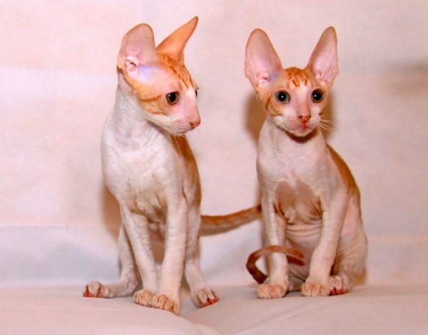 два рыжих котёнка породы корниш рекс