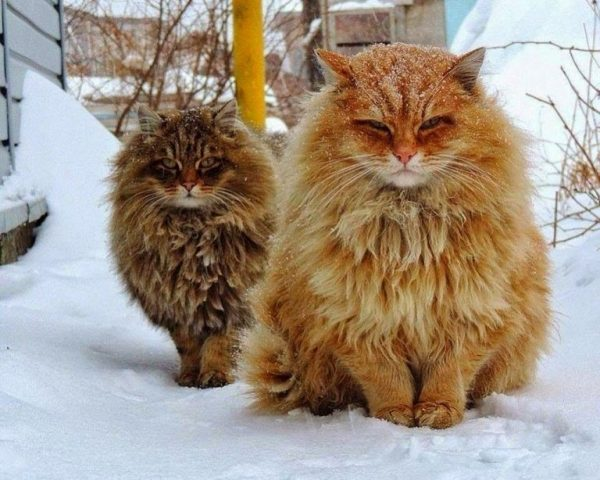 Два сибирских кота