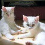 два турецких ванских котёнка