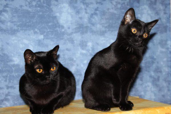 Две бомбейские кошки на голубом фоне