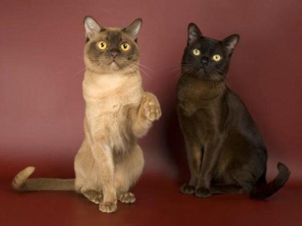 Две бурманские кошки