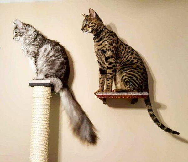 Две кошки на полках