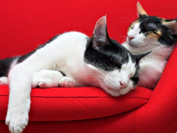 Две кошки в красном кресле