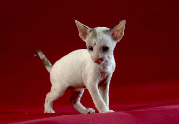 котёнок корниш рекса на бордовом фоне