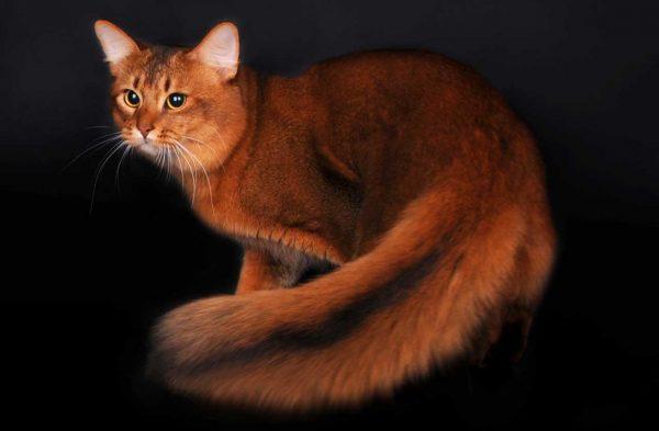 Сомалийская кошка на чёрном фоне