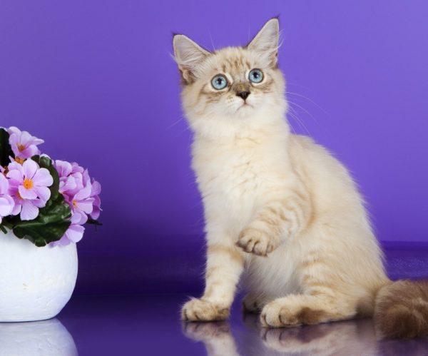Кремовый невский котёнок и горшок с цветами на фиолетовом фоне