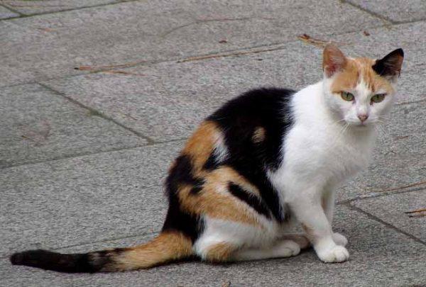 Эгейская кошка триколор