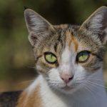 Егейская кошка