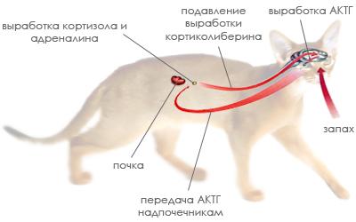 Эндокринная система кошки
