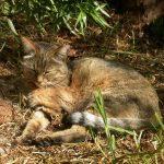 Европейская дикая лесная кошка на отдыхе