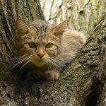 Европейская дикая лесная кошка в засаде