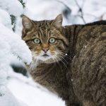 Европейская дикая лесная кошка зимой