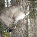 Европейская дикая лесная кошка сидит на дереве