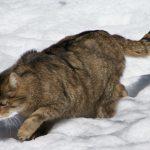 Европейская кошка зимой на охоте