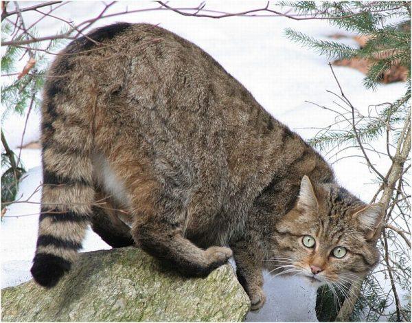 Европейская кошка в период гона