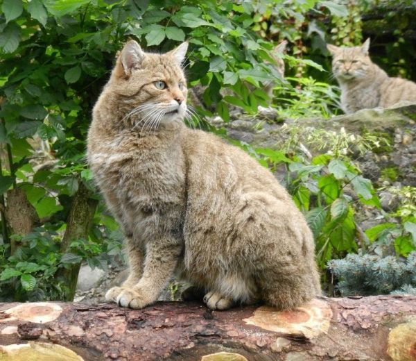 лесной европейский кот
