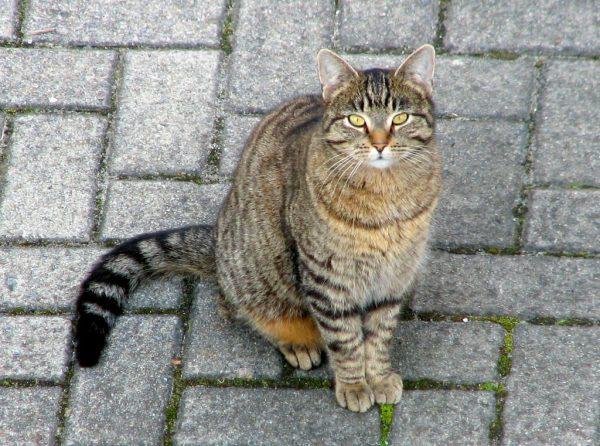 Обычная домашняя кошка