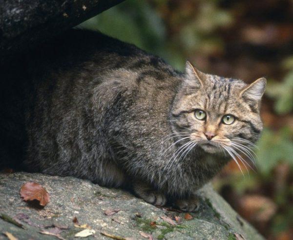 Европейский дикий кот в зоопарке
