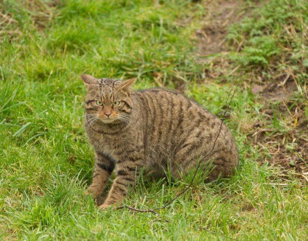 Европейский лесной кот на природе