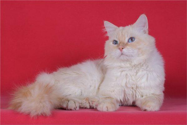 Невский маскарадный кот на красном фоне
