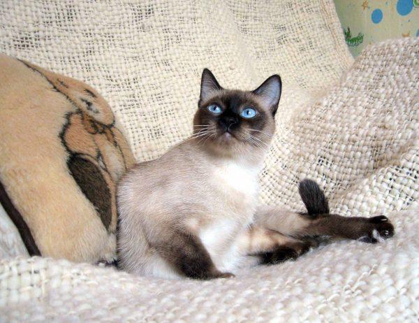Тайский кот на гамаке из холста