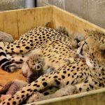 Гепард с детёнышами в коробке