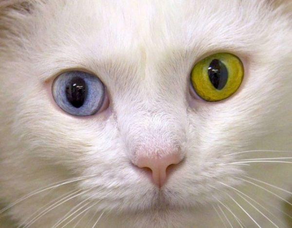 Гетерохромия у ангорских кошек