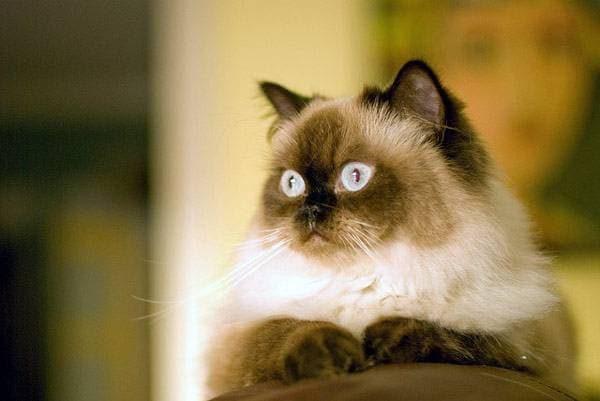 гималайская кошка с широко открытыми голубыми глазами