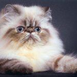 гималайская кошка с коричневым табби-окрасом