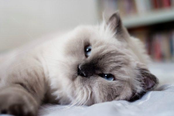 гималайская кошка с прищуренными глазами лежит на боку