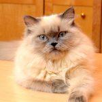 гималайская кошка с серым пойнтом