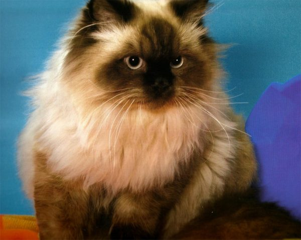 гималайская кошка смотрит вправо