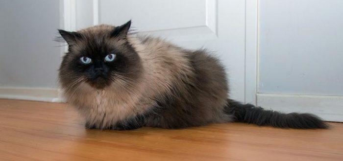 гималайская кошка у двери