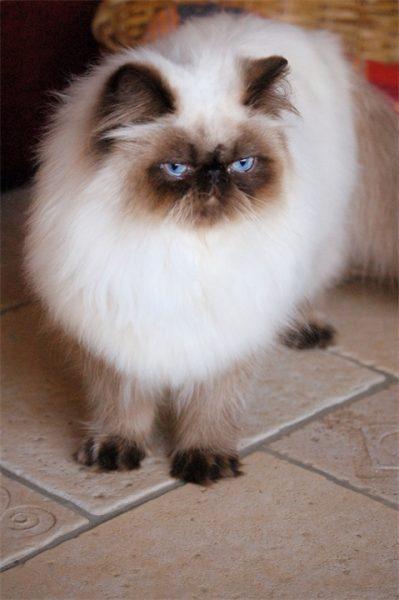 гималайская кошка (вид сверху)